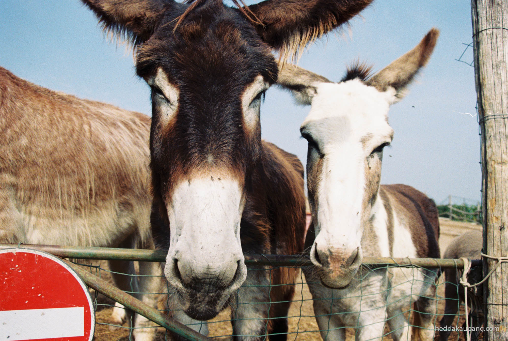 Cute donkeys at Carussin.